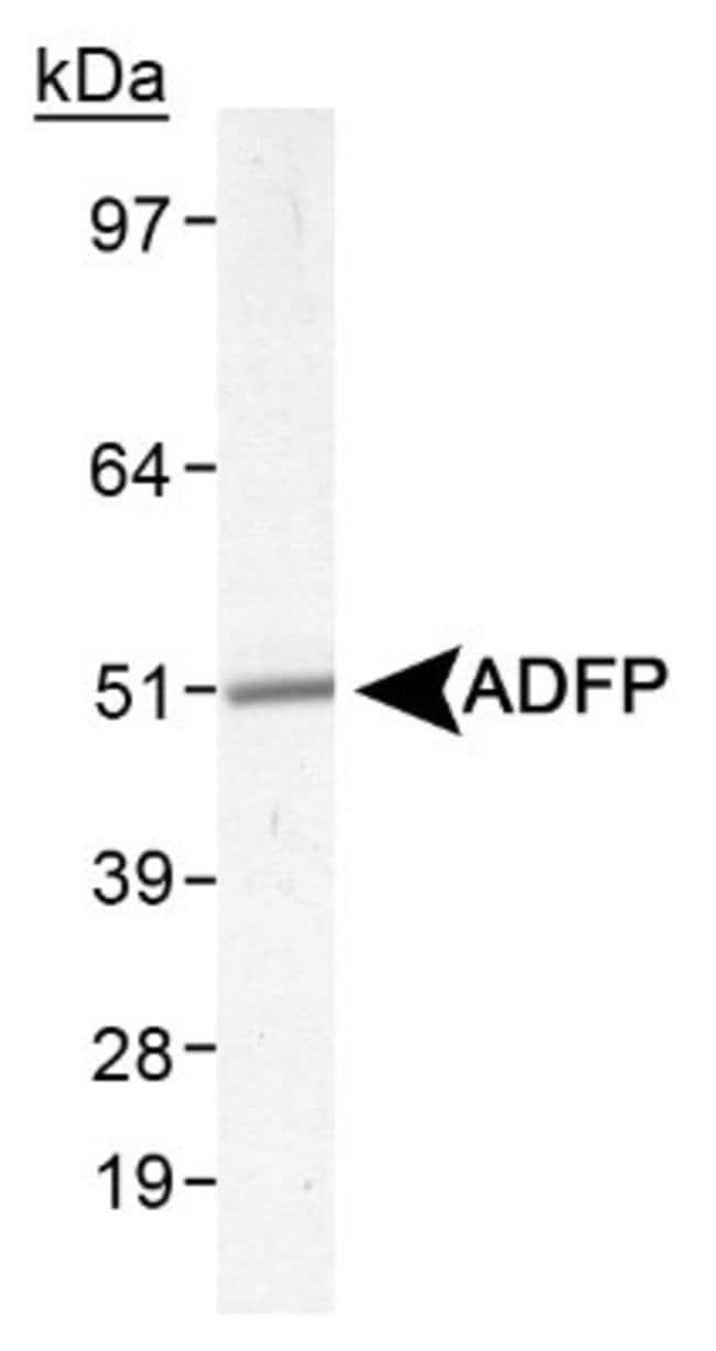 anti-Perilipin-2/ADFP, Polyclonal, Novus Biologicals:Antibodies:Primary