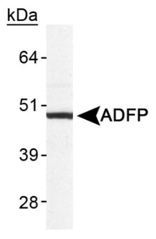Perilipin-2/ADFP Rabbit anti-Human, Mouse, Porcine, Monkey, Polyclonal,