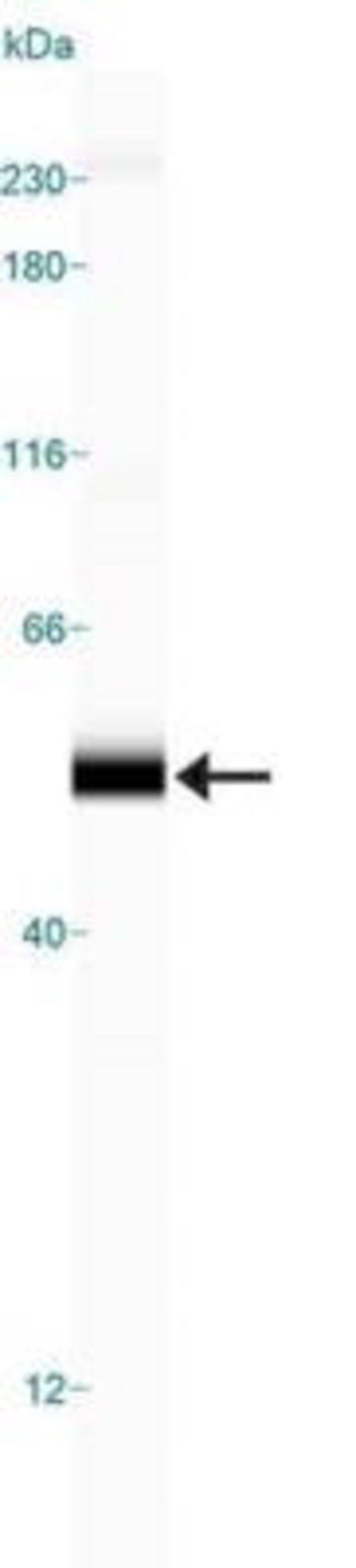 anti-Perilipin-3/TIP47, Polyclonal, Novus Biologicals:Antibodies:Primary