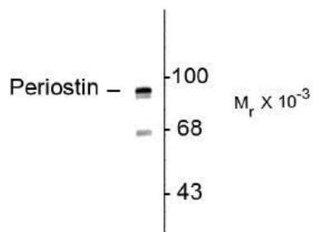 anti-Periostin/OSF-2, Polyclonal, Novus Biologicals 0.1mL; Unlabeled:Life
