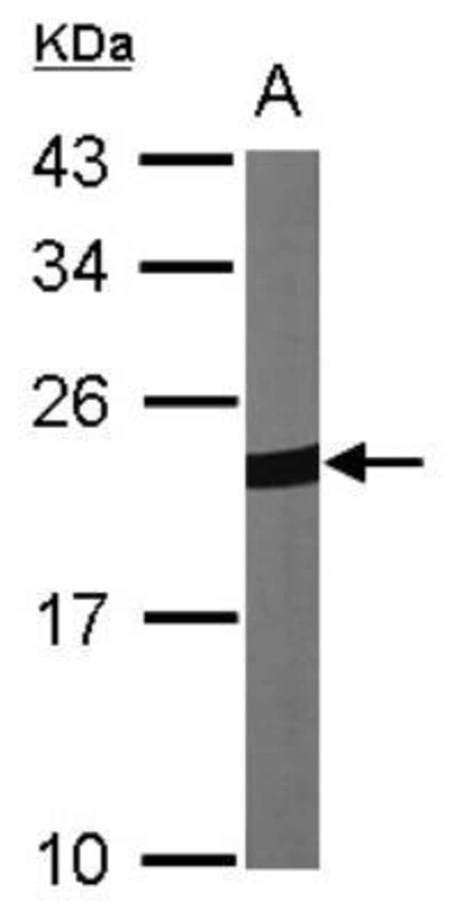 anti-Peroxiredoxin 1, Polyclonal, Novus Biologicals 0.1mL; Unlabeled:Antibodies