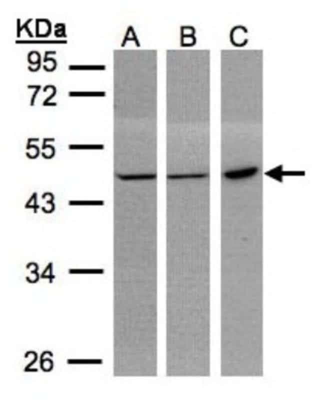 anti-PGD, Polyclonal, Novus Biologicals 0.1mg; Unlabeled:Life Sciences