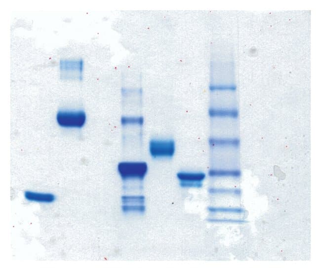 Thermo Scientific Pierce Phosphoprotein Staining Kit:Electrophoresis, Western