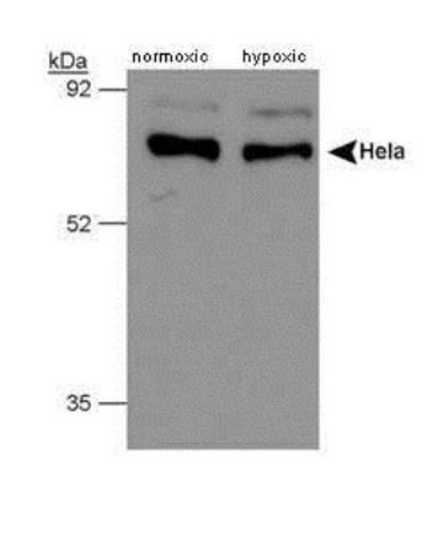 anti-PHD4/HIF Prolyl Hydroxylase 4, Polyclonal, Novus Biologicals:Antibodies:Primary