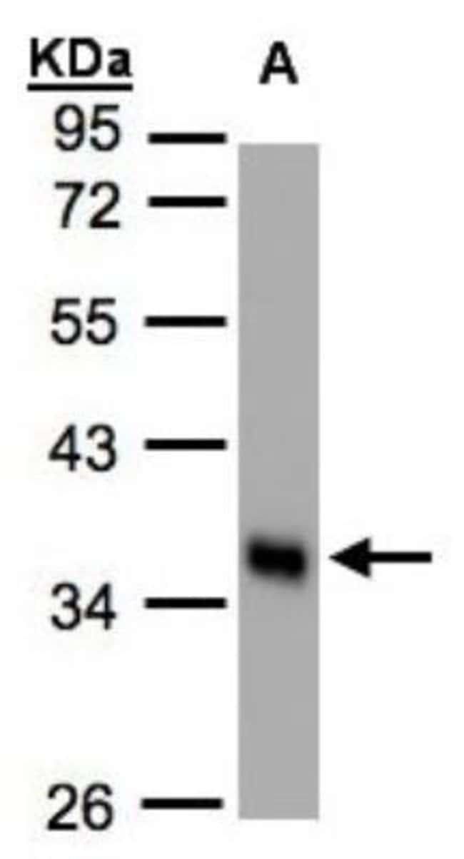 anti-Phospholipid Scramblase 1/PLSCR1, Polyclonal, Novus Biologicals 0.1mL;