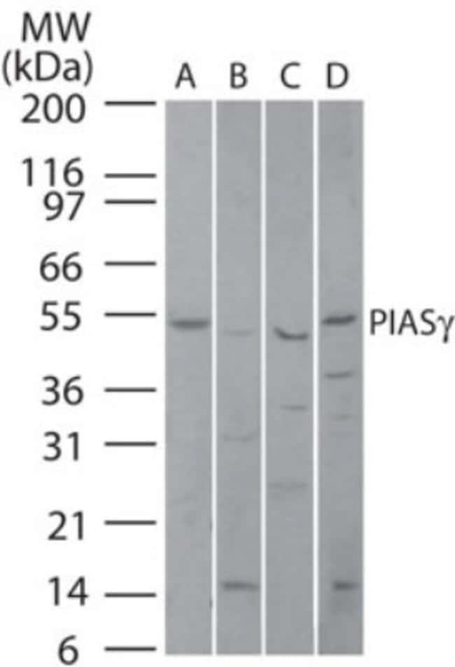 anti-PIASy, Polyclonal, Novus Biologicals:Antibodies:Primary Antibodies