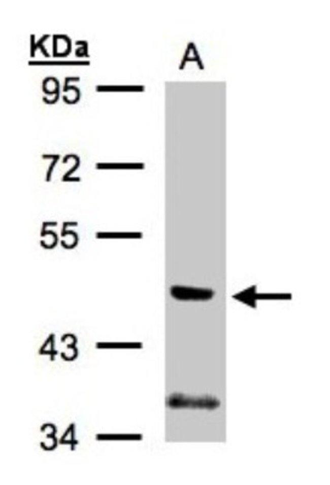 anti-PIK3R3, Polyclonal, Novus Biologicals 0.1mg; Unlabeled:Life Sciences