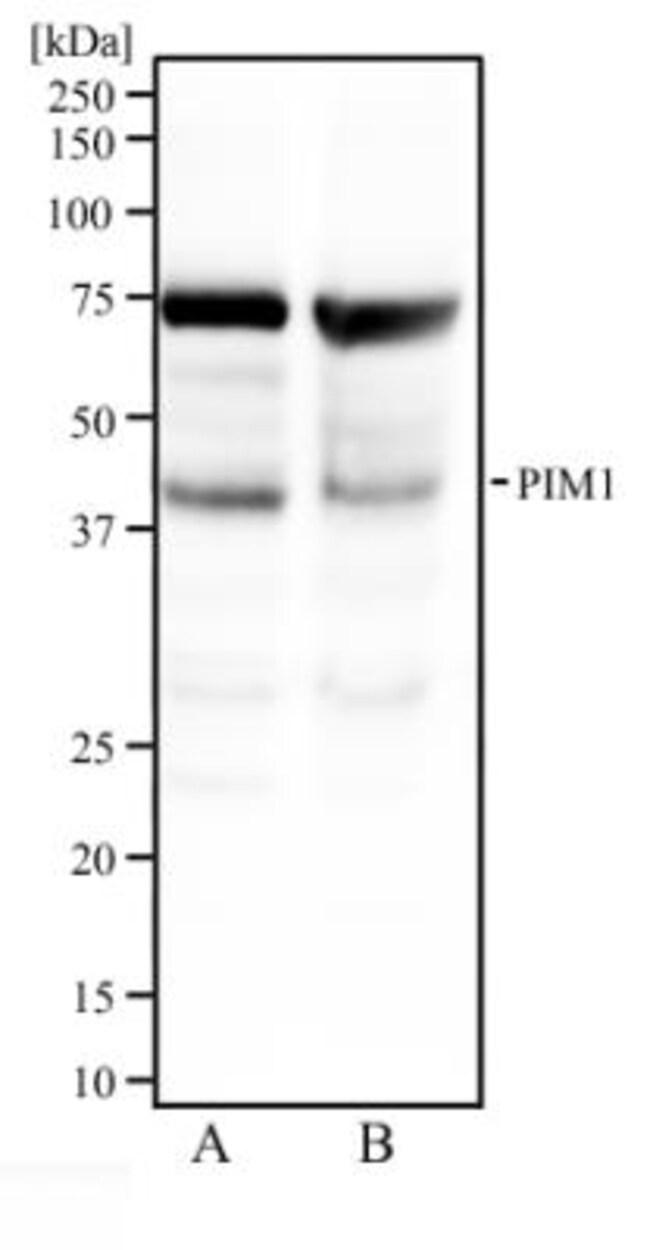 anti-PIM1, Polyclonal, Novus Biologicals:Antibodies:Primary Antibodies
