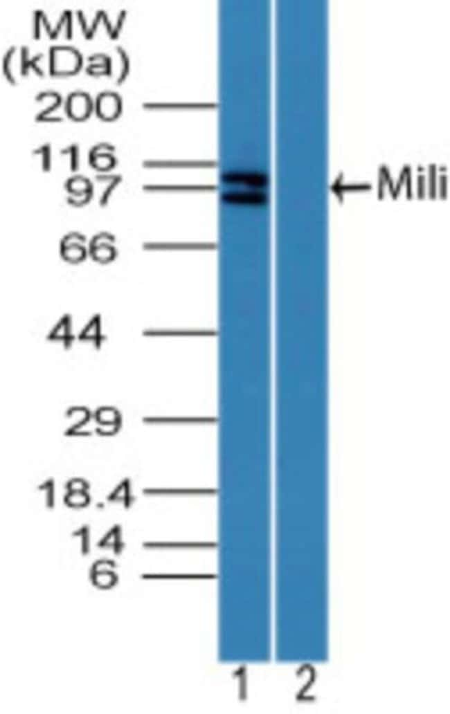anti-PIWIL2, Polyclonal, Novus Biologicals:Antibodies:Primary Antibodies