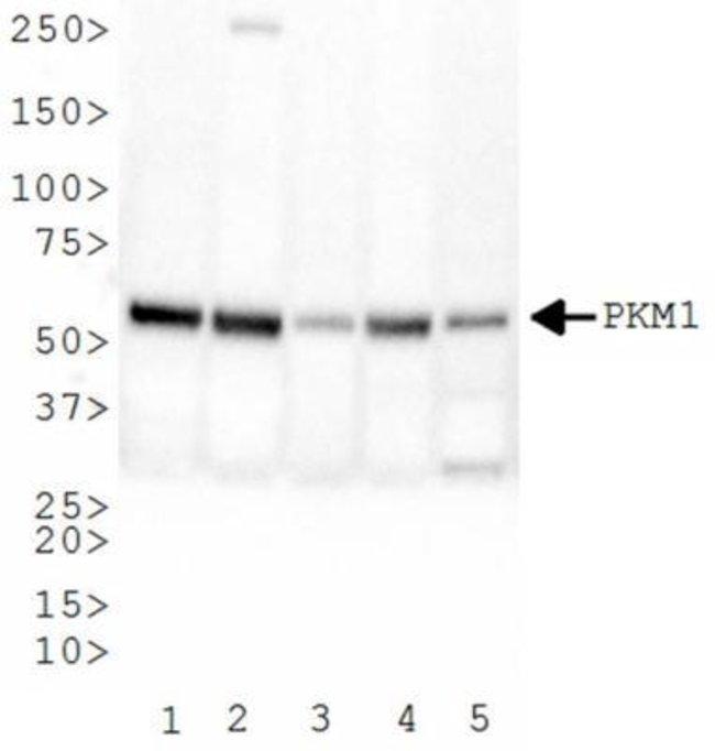 anti-PKM1, Polyclonal, Novus Biologicals:Antibodies:Primary Antibodies