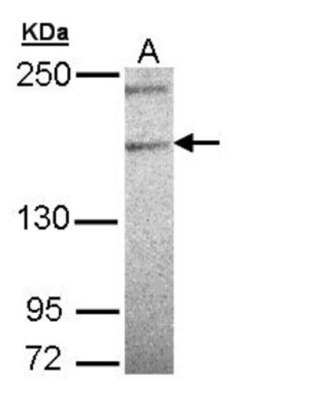 anti-PLCL3, Polyclonal, Novus Biologicals 0.1mg; Unlabeled:Life Sciences