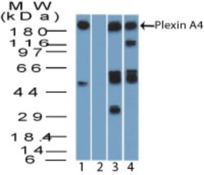 anti-Plexin A4, Polyclonal, Novus Biologicals:Antibodies:Primary Antibodies