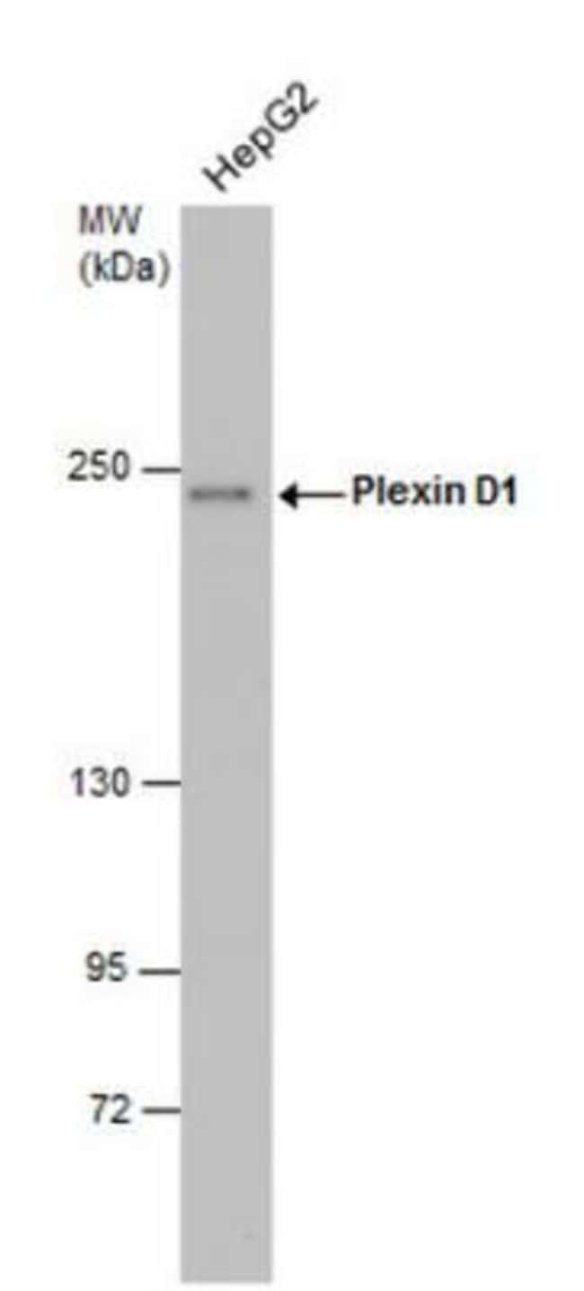 Plexin D1 Rabbit anti-Human, Mouse, Polyclonal, Novus Biologicals 0.1mg;