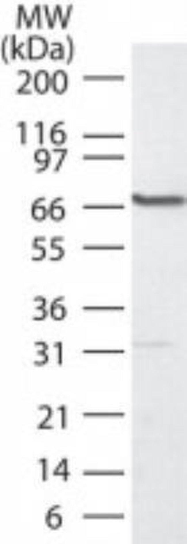 PLK1 Rabbit anti-Human, Polyclonal, Novus Biologicals:Antibodies:Primary