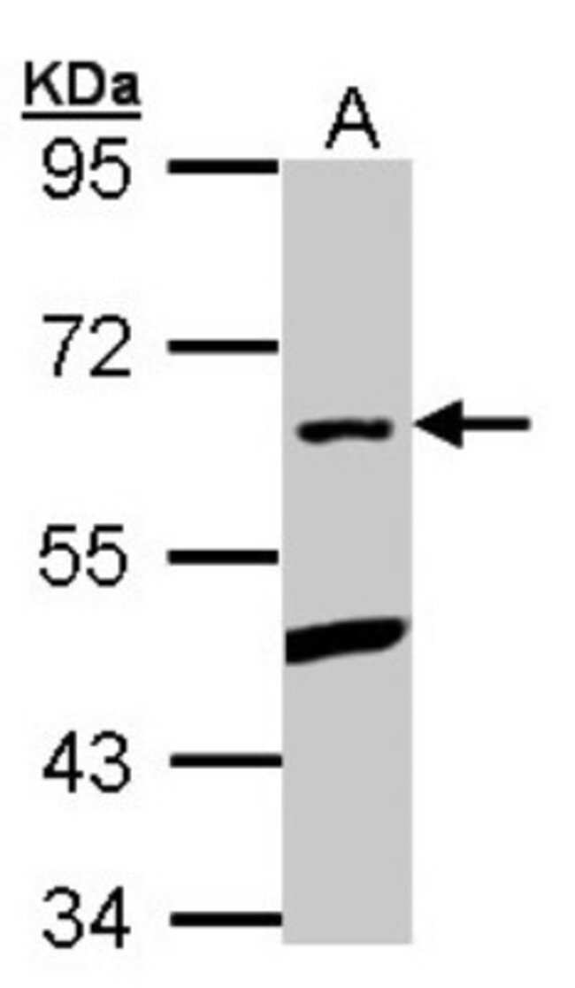 anti-PLRG1, Polyclonal, Novus Biologicals 0.1mg; Unlabeled:Life Sciences