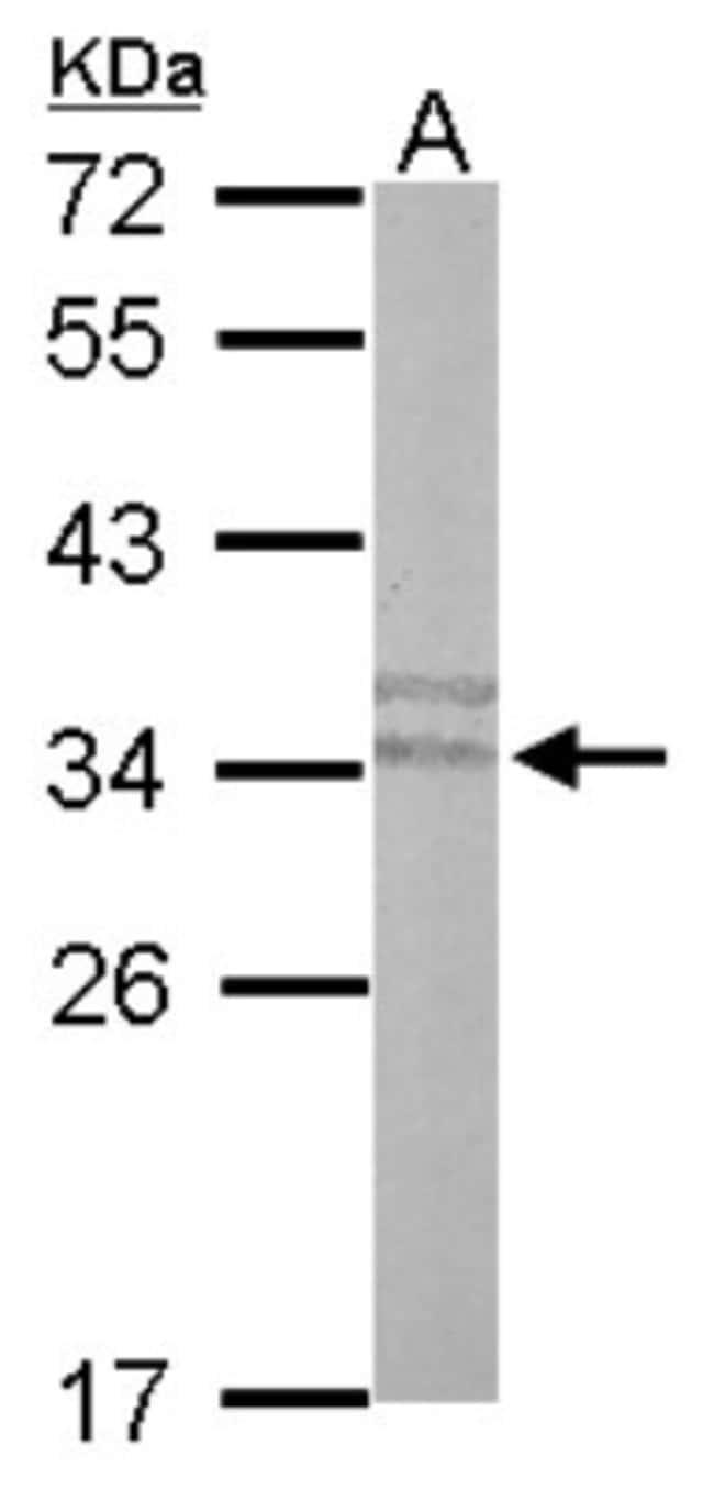 anti-PLSCR3, Polyclonal, Novus Biologicals 0.1mL; Unlabeled:Life Sciences