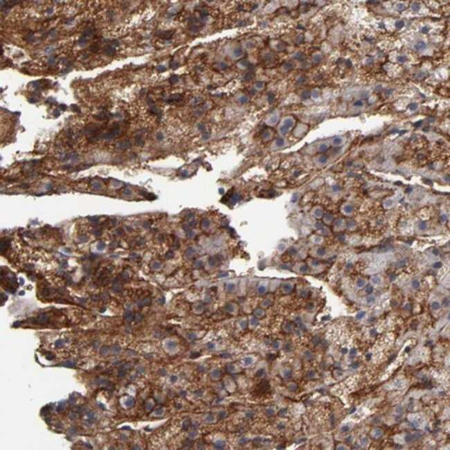anti-PLSCR4, Polyclonal, Novus Biologicals 0.1mL; Unlabeled:Life Sciences