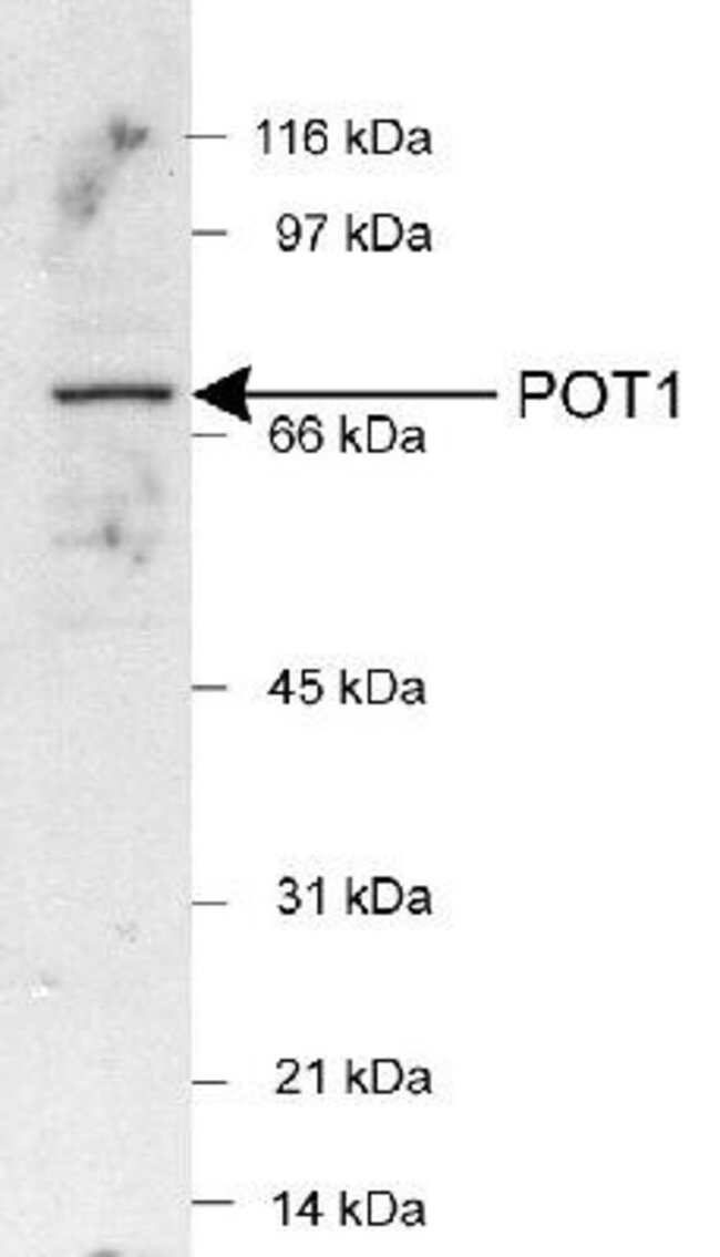 anti-POT1, Polyclonal, Novus Biologicals:Antibodies:Primary Antibodies