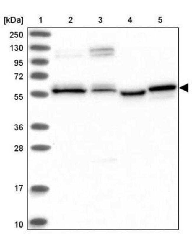 anti-PPRC1, Polyclonal, Novus Biologicals 0.1mL; Unlabeled:Life Sciences