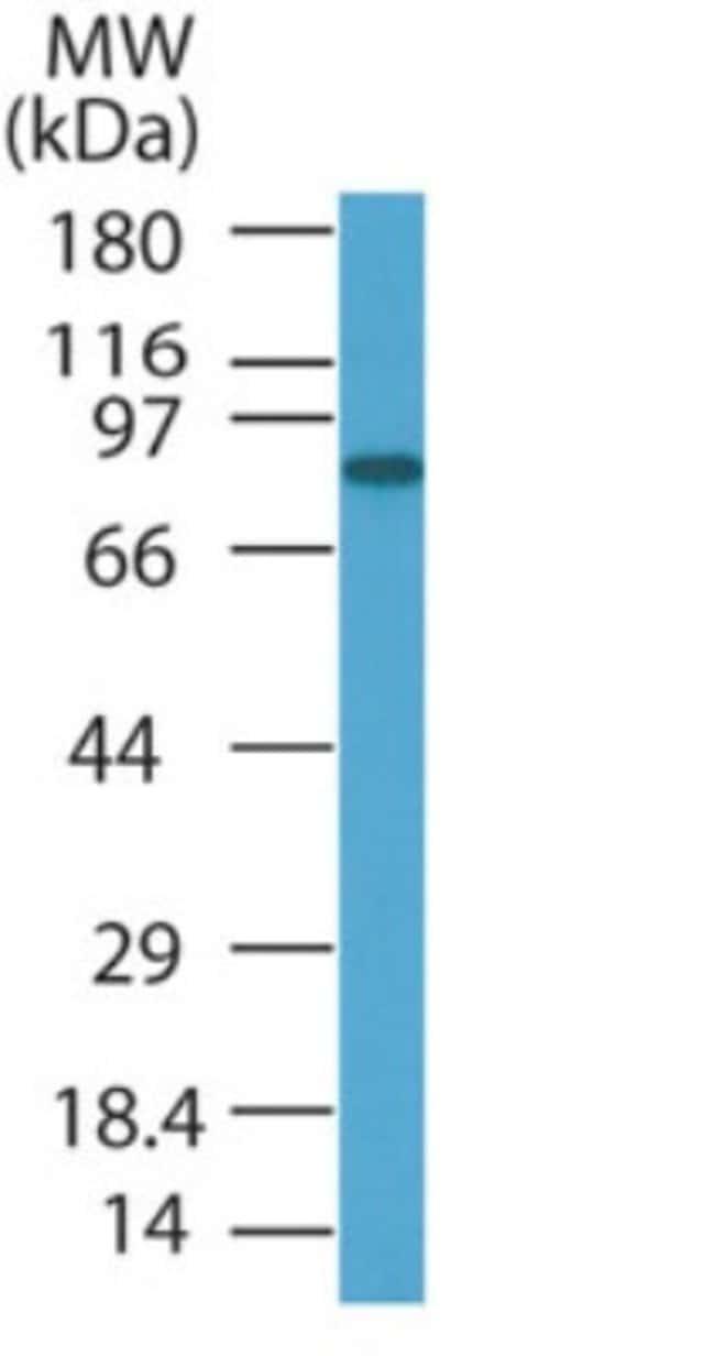anti-PRDM5, Polyclonal, Novus Biologicals:Antibodies:Primary Antibodies