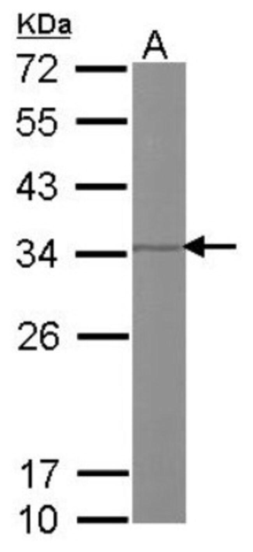 anti-Prohibitin 2, Polyclonal, Novus Biologicals 0.1mL; Unlabeled:Antibodies