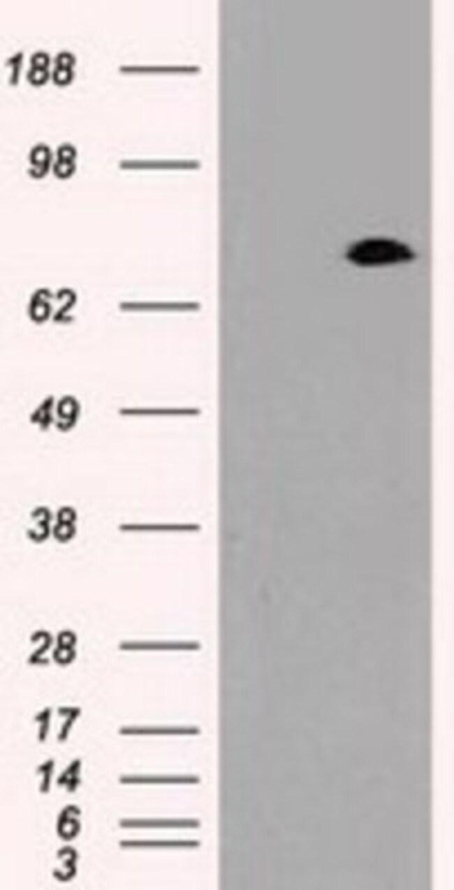 anti-Prominin 2, Clone: 6B7, Novus Biologicals 0.1mL; Unlabeled:Life Sciences