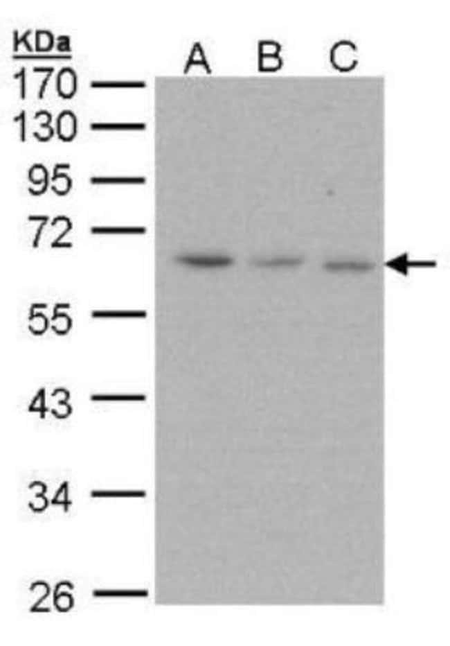 anti-Proteasome 19S S3, Polyclonal, Novus Biologicals 0.1mL; Unlabeled:Life