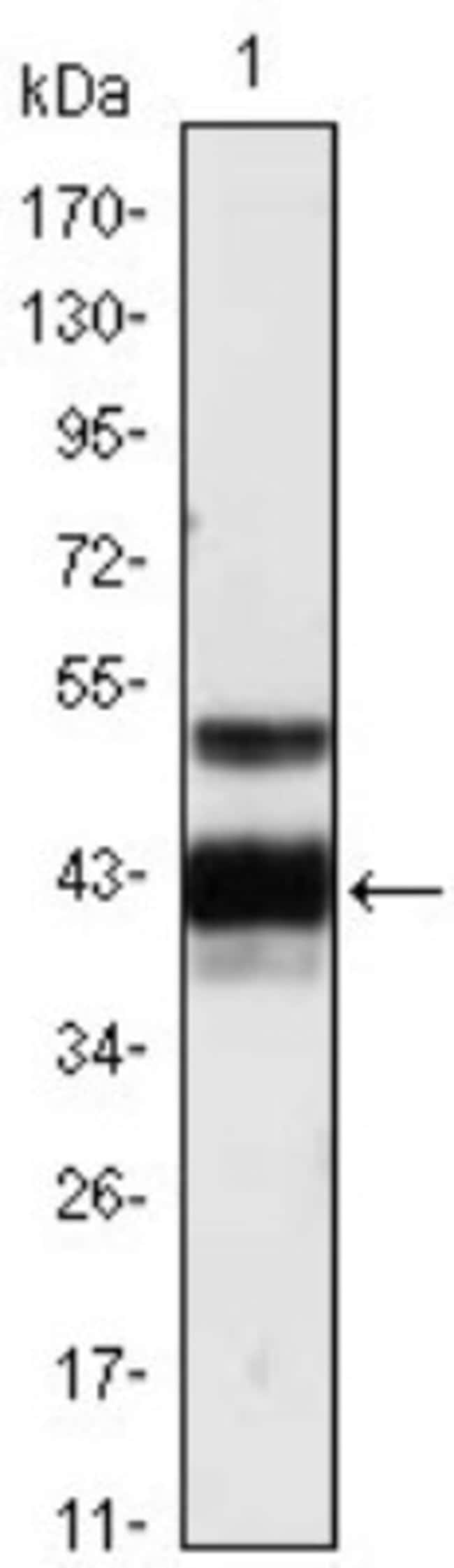 anti-Protein Z, Clone: 2B4, Novus Biologicals 0.1mL; Unlabeled:Life Sciences