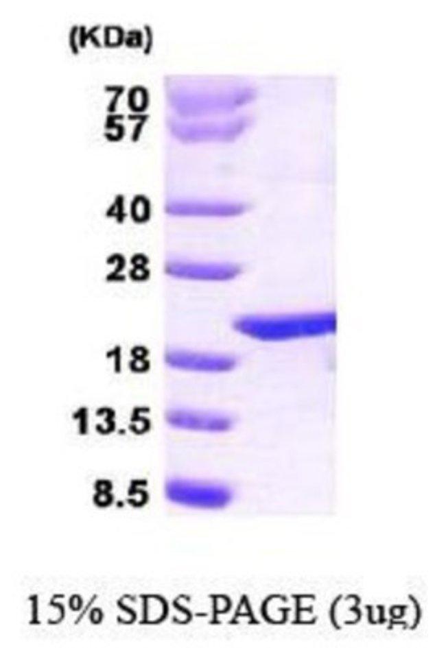 Novus Biologicals Human p23/PTGES3 Protein 0.1mg; Unlabeled:Life Sciences