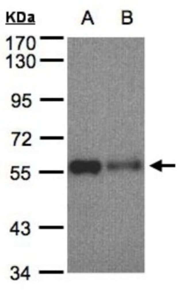 SHP-1 Rabbit anti-Human, Mouse, Rat, Polyclonal, Novus Biologicals 0.1mL;