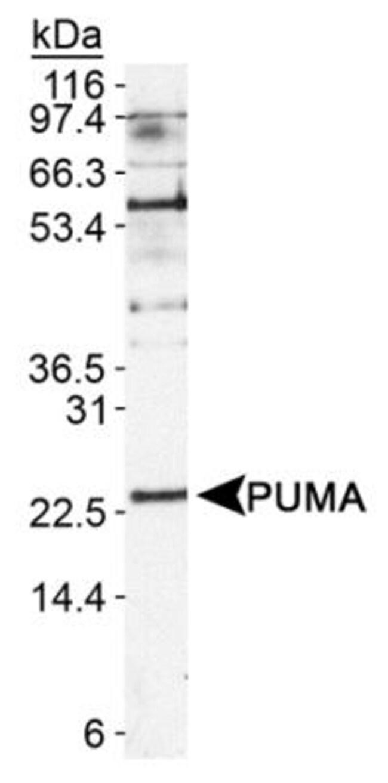 anti-PUMA, Polyclonal, Novus Biologicals:Antibodies:Primary Antibodies