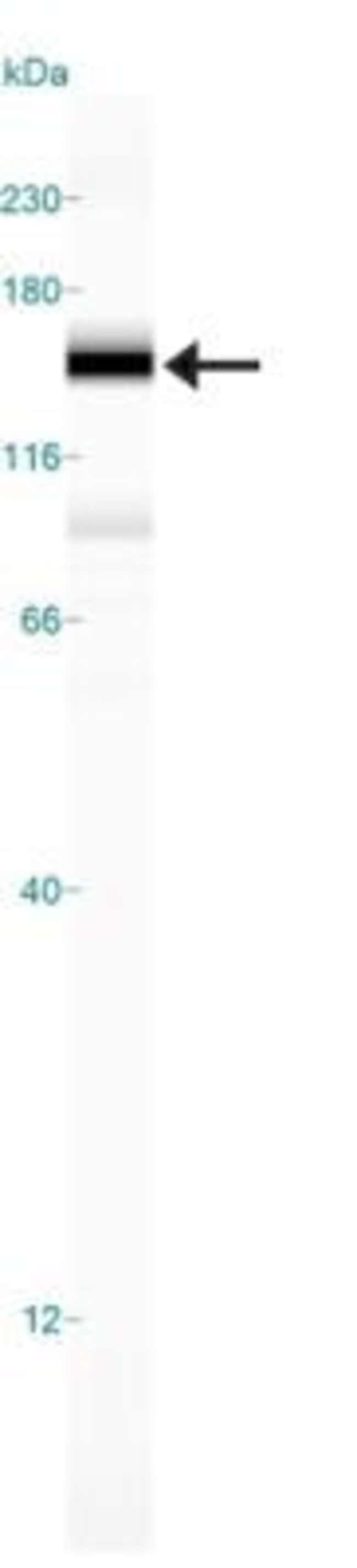 anti-Rad50, Polyclonal, Novus Biologicals:Antibodies:Primary Antibodies