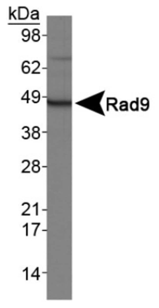 anti-Rad9, Polyclonal, Novus Biologicals:Antibodies:Primary Antibodies