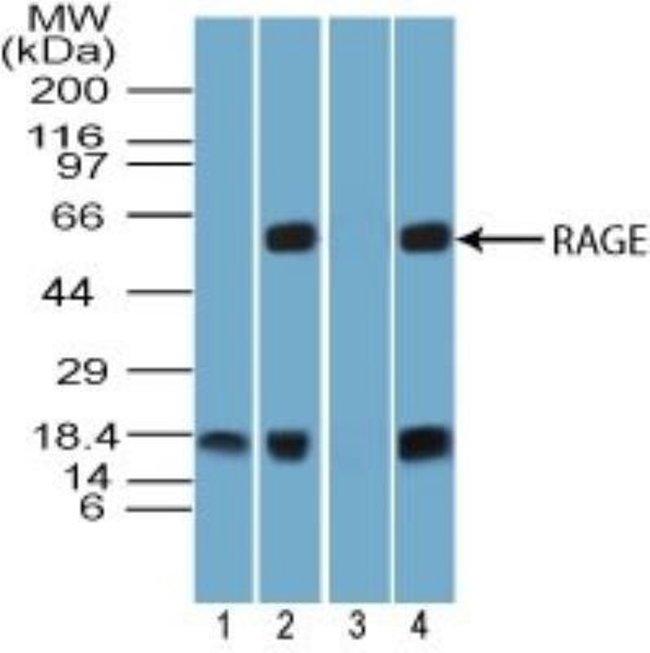 anti-RAGE, Polyclonal, Novus Biologicals:Antibodies:Primary Antibodies