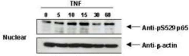 anti-RelA/NFkB p65 (p Ser529), Polyclonal, Novus Biologicals 0.1mL; Unlabeled:Life