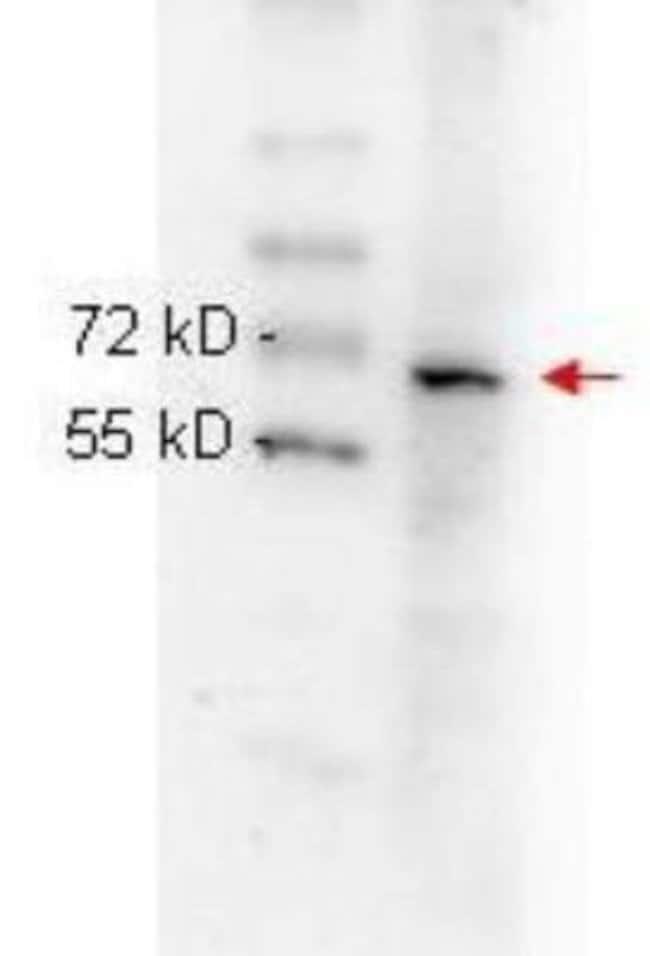 anti-RelA/NFkB p65, Clone: 27F9.G4, Novus Biologicals 0.1mg; Unlabeled:Life