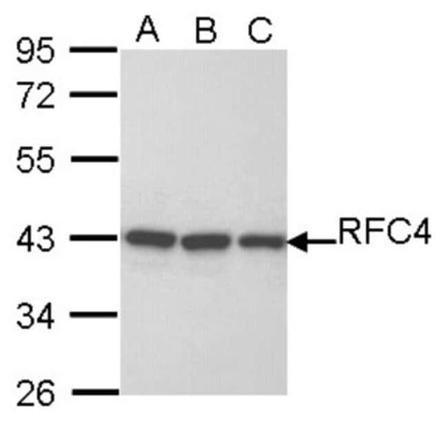 anti-RFC4, Polyclonal, Novus Biologicals 0.1mL; Unlabeled:Life Sciences