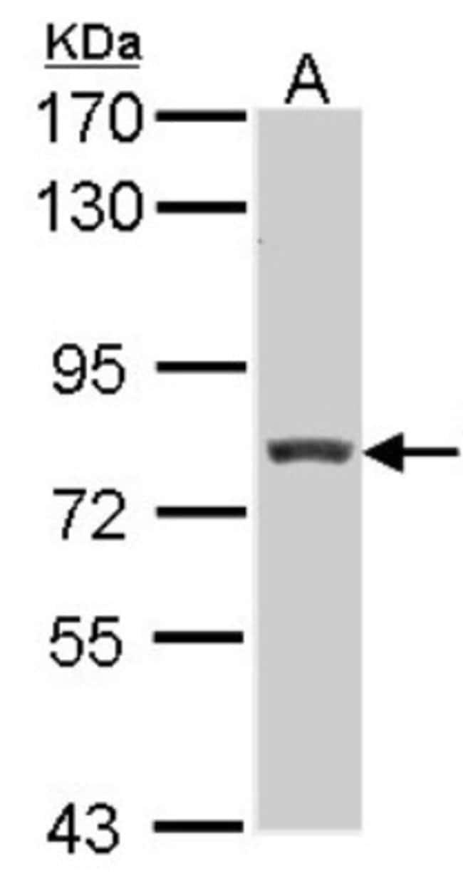 anti-RFX3, Polyclonal, Novus Biologicals 0.1mL; Unlabeled:Life Sciences