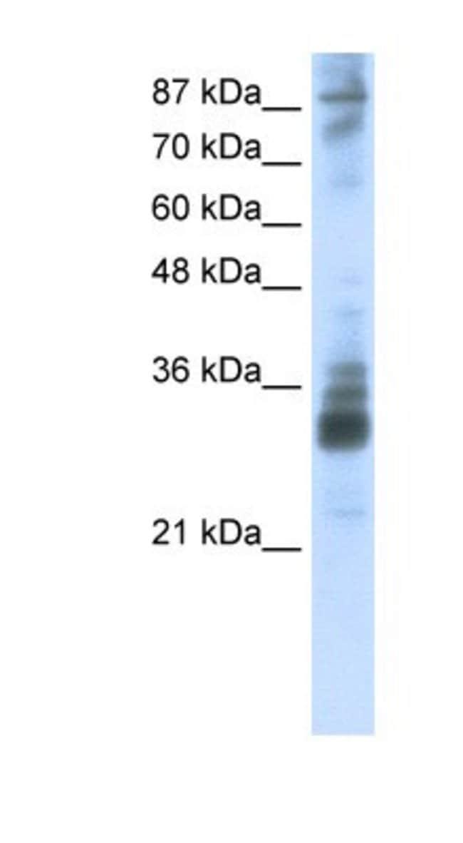 RG9MTD2 Rabbit anti-Human, Polyclonal, Novus Biologicals 100µL; Unlabeled:Life