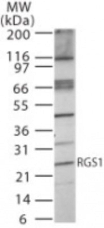 anti-RGS1, Polyclonal, Novus Biologicals:Antibodies:Primary Antibodies