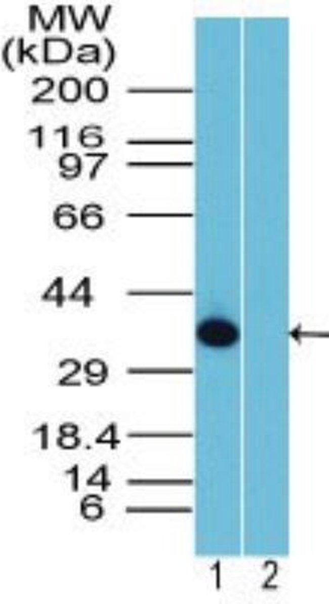 anti-Rhox10, Polyclonal, Novus Biologicals:Antibodies:Primary Antibodies