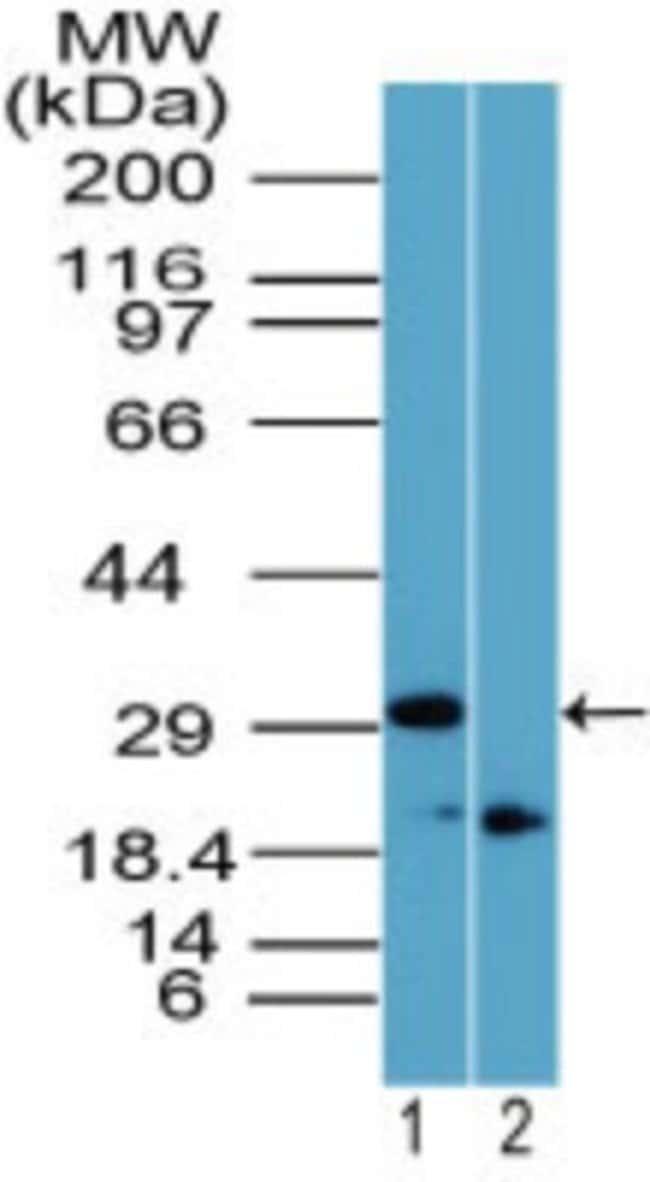 anti-Rhox11, Polyclonal, Novus Biologicals:Antibodies:Primary Antibodies