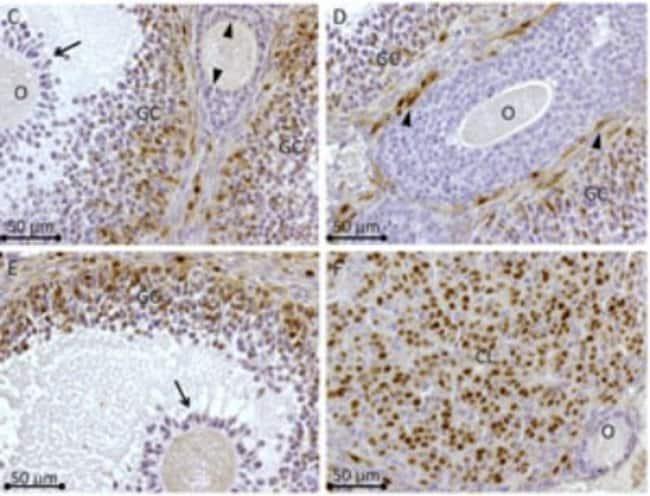 anti-Rhox8, Polyclonal, Novus Biologicals:Antibodies:Primary Antibodies