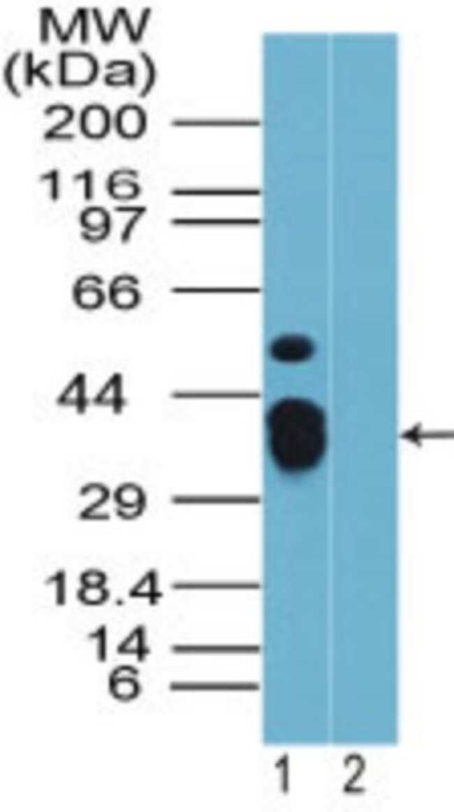 anti-Rhox9, Polyclonal, Novus Biologicals:Antibodies:Primary Antibodies