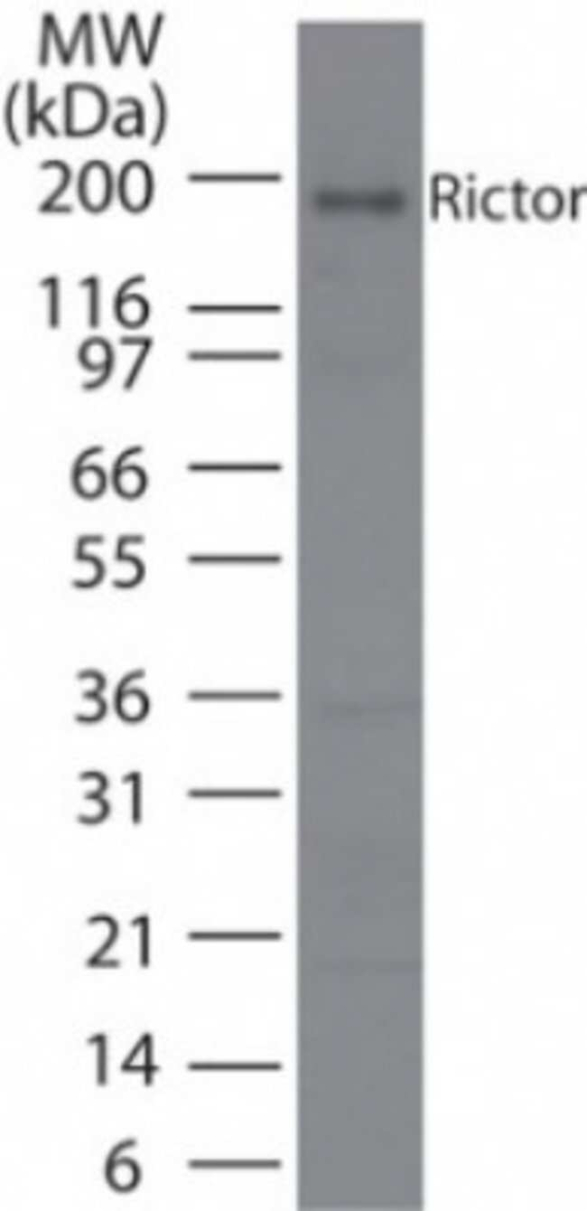 anti-Rictor, Polyclonal, Novus Biologicals:Antibodies:Primary Antibodies