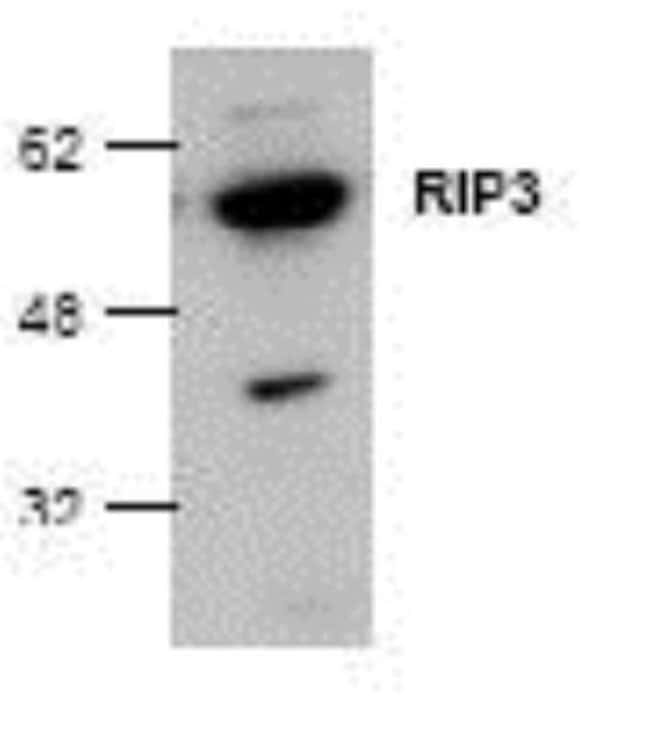 anti-RIP3/RIPK3, Polyclonal, Novus Biologicals 0.1mg; Unlabeled:Life Sciences