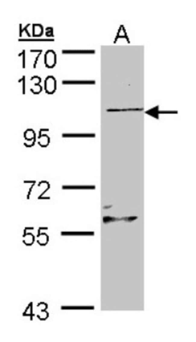 anti-RLF, Polyclonal, Novus Biologicals 0.1mL; Unlabeled:Life Sciences