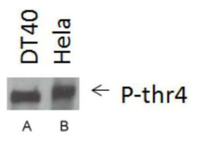 anti-RNA Polymerase II/POLR2A (p Thr4), Polyclonal, Novus Biologicals 0.1mL;