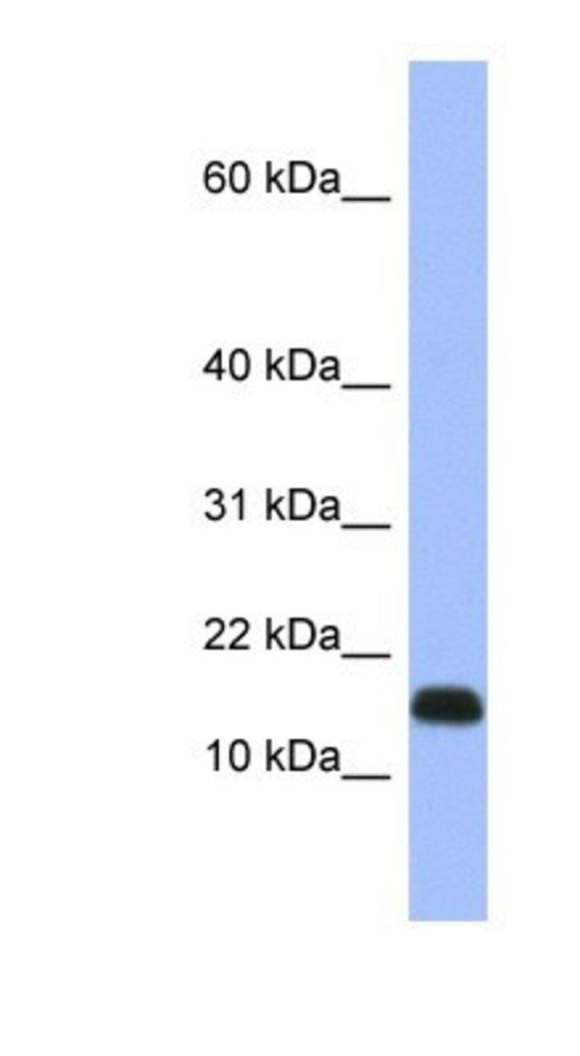 RPL37A Rabbit anti-Human, Polyclonal, Novus Biologicals 100µL; Unlabeled:Life