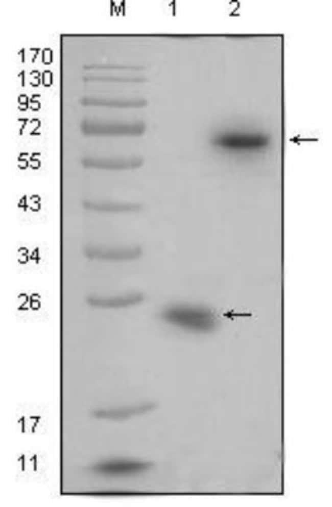 anti-R-Spondin 1, Clone: 7A6, Novus Biologicals 0.1mL; Unlabeled:Life Sciences